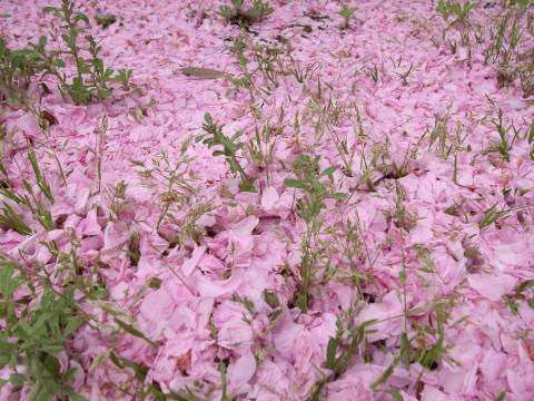 八重桜の絨毯
