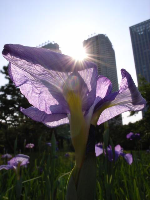 太陽とキスする花菖蒲