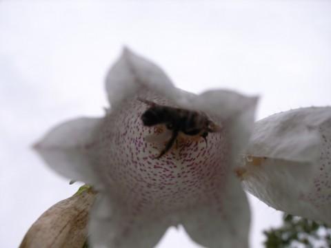 蛍袋の中の虫