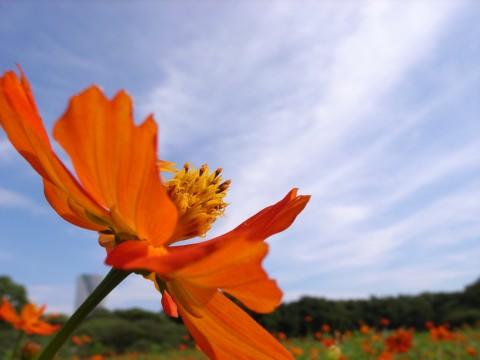 秋空を描くキバナコスモス