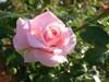 グラニー:花びらの先の滴がわかりますか