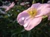ローゼンライゲン:花びらの上に滑り落ちずに乗っかってます
