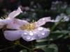 ローゼンライゲン:花びらの上に整列です