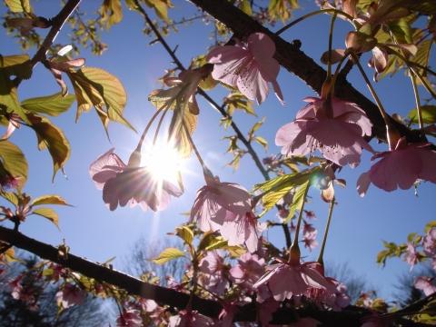 輝く河津桜