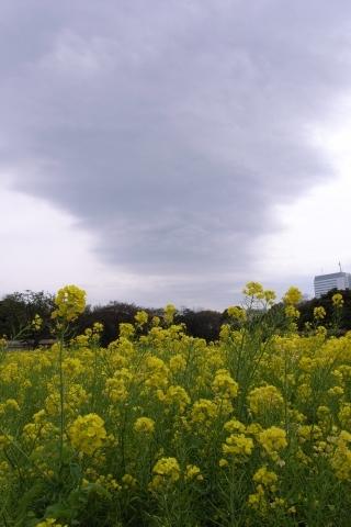 雲が広がる菜の花上空