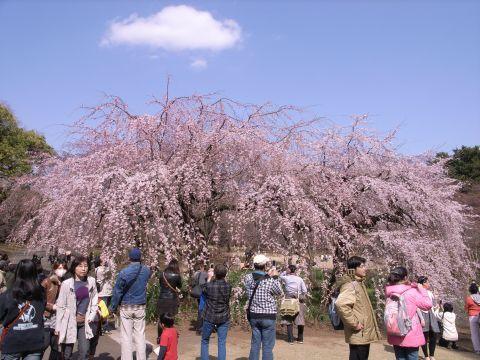 枝垂桜・新宿御苑
