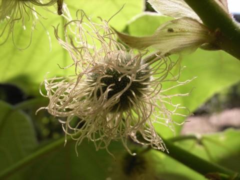 梶の木の花