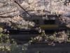 桜の中の中央総武緩行線E231系