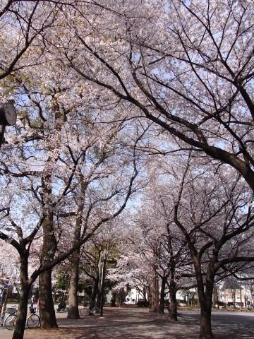 林試の森の桜1
