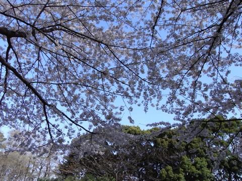 林試の森の桜2