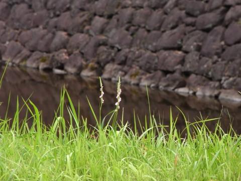 石垣を見つめるネジバナ