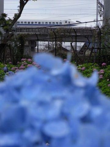 紫陽花と700系新幹線