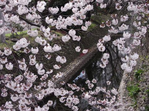 東川の桜並木