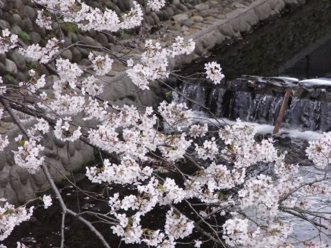 桜咲く東川